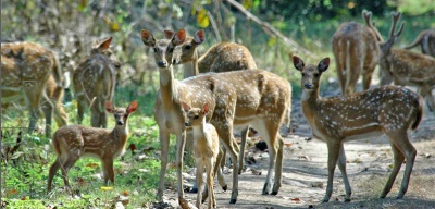 website_lakeway_deer_herd_400
